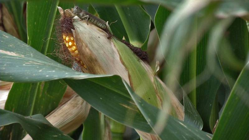 A grasshopper sits atop an ear of corn in Iowa on Wednesday, Sept. 25, 2019 (Brian Tabick/KCRG)