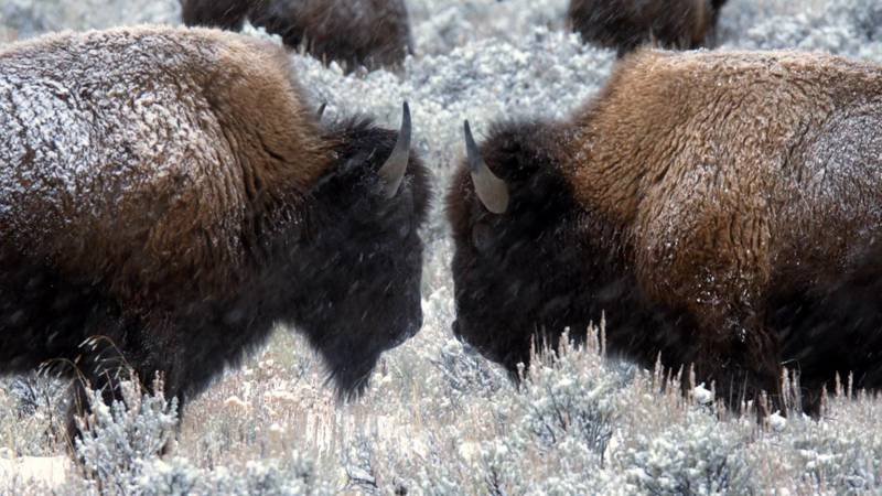 Efforts to build a new Bison exhibit