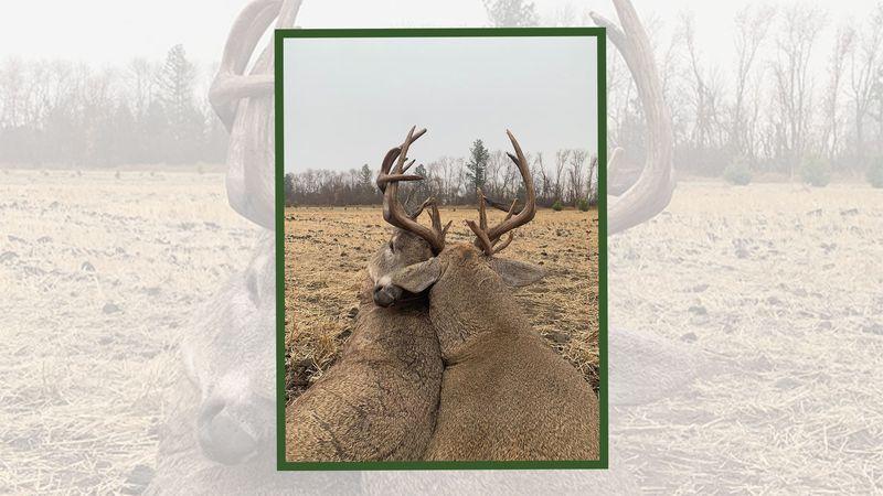 Interlocked deer