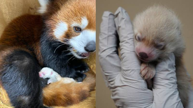There are three porcupines and two red pandas that you will get the opportunity to feed. These...