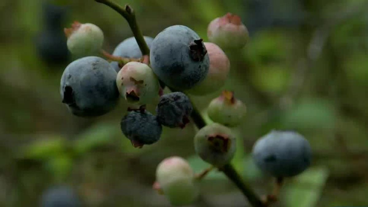 Take a break and pick some blueberries.