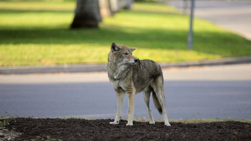 FILE: File photo of a coyote. Not the actual coyote spotted in Grand Forks.