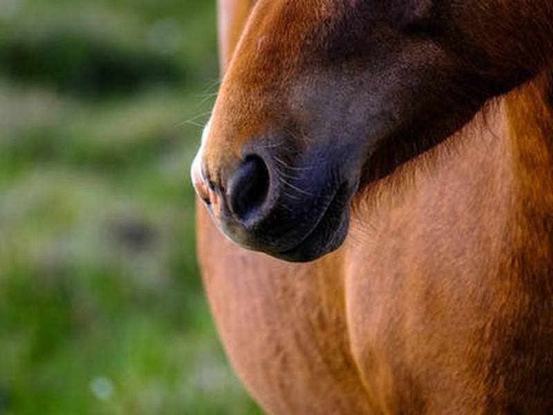 Horse generic