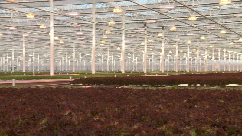 California now grows about 75 percent of the nation's lettuce crop, but some two million pounds...