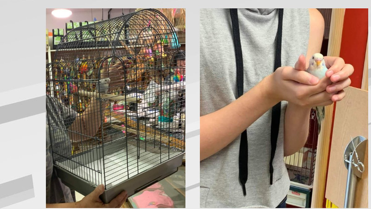 Budgies that were brought into CARE's in June, have all been adopted.