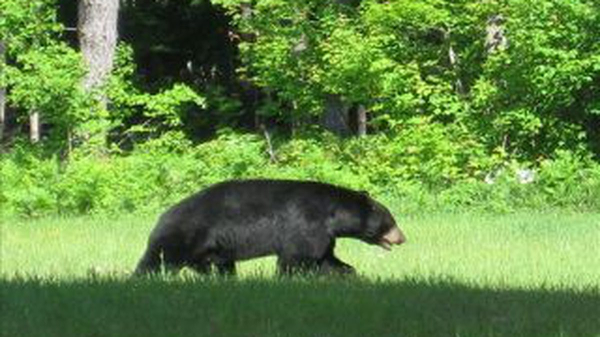 More black bears are being seen in Missouri.